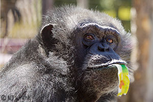 Adopt-a-chimp Toby
