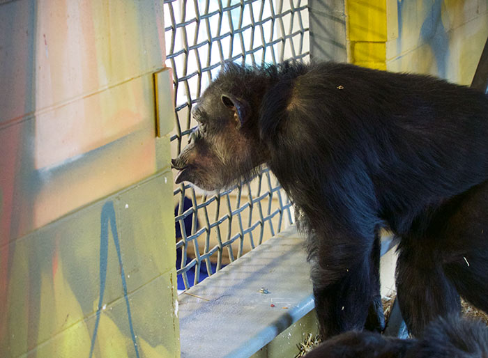 Blackie looking at the other chimps.