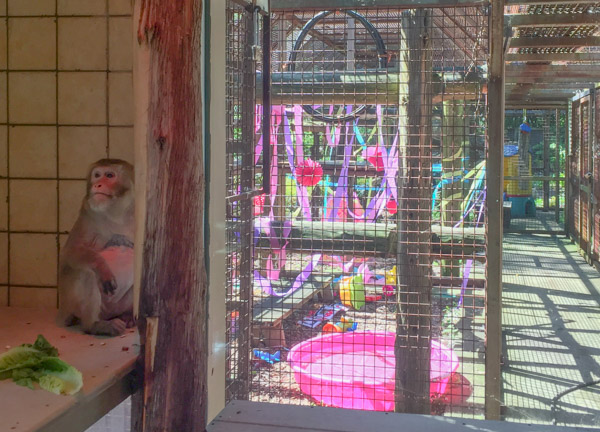 Darla looks out at the brightly coloured decorations that are part of the monkey enrichment program