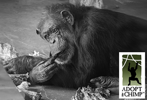 Fauna Foundation's Adopt-a-Chimp Program