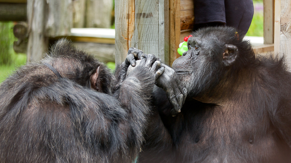 Giving Day for Apes at Fauna